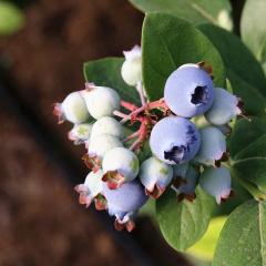 山东新鲜蓝莓 现摘现发 顺丰发货