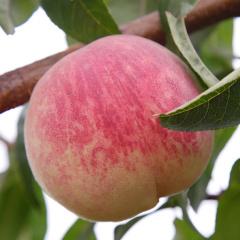 【脆甜,曾创吉尼斯世界纪录】金秋红蜜桃 甜度高达18度 230天成长期 秋冬晚熟 12个装