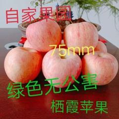 【峻农果品】烟台栖霞红富士苹果75mm优果12个5斤装包售后包邮馈爆价