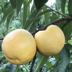 【新鲜水果】新鲜采摘 黄油桃 5斤装 (约12-18个)